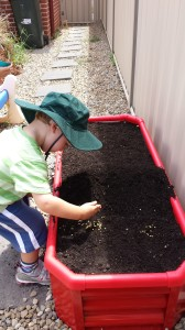 Planting the capsicum seeds